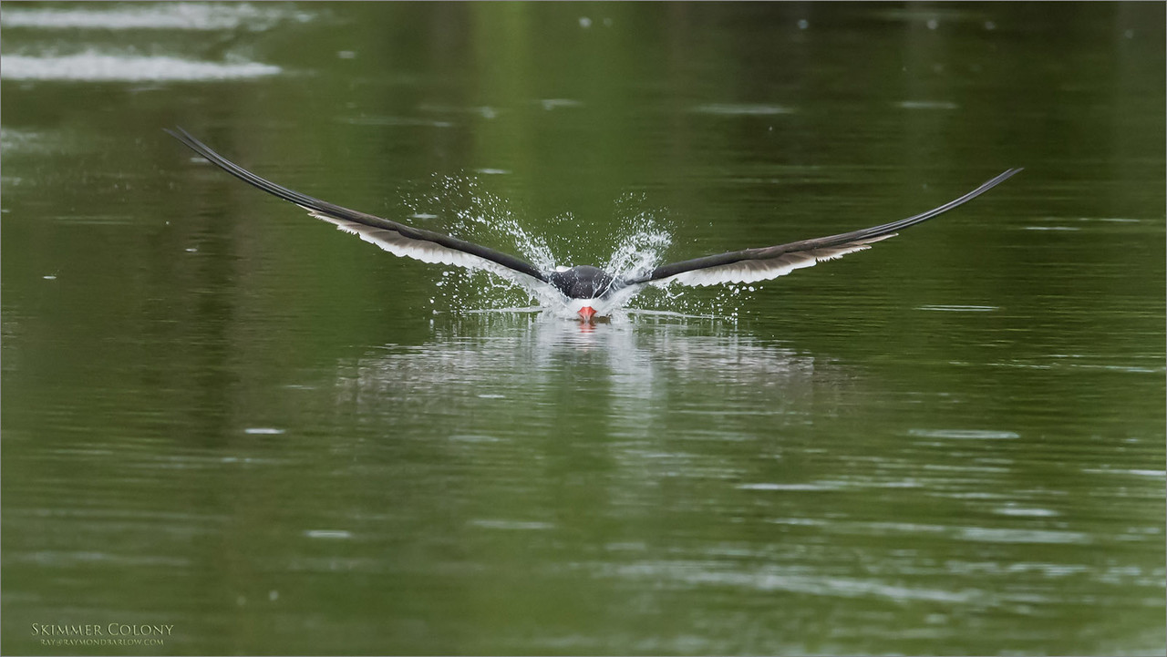 Black Skimmer in Flight skimming<br /> Raymond Barlow Photo Tours to USA - Wildlife and Nature<br /> <br /> ray@raymondbarlow.com<br /> Nikon D810 ,Nikkor 600 mm f/4 ED<br /> 1/2500s f/8.0 at 600.0mm iso2500