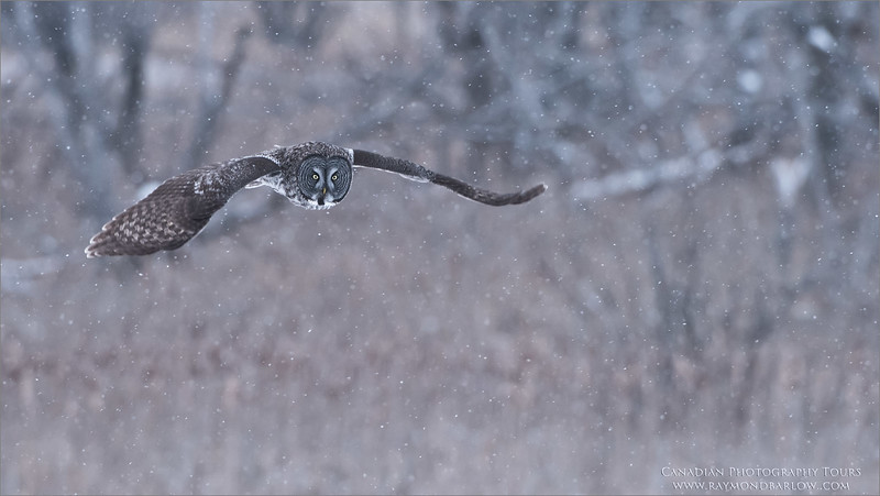Great grey Owl Hunting<br /> Raymond's Canada Nature Photography Tours<br /> Nikon D810 ,Nikkor 200-400mm f/4G ED-IF AF-S VR<br /> 1/800s f/5.0 at 400.0mm iso1600