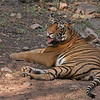 "Royal Bengal Tiger<br /> RJB Royal Bengal Tiger Tours<br />  <a href=""http://www.raymondbarlow.com"">http://www.raymondbarlow.com</a><br /> 1/250s f/6.3 at 270.0mm iso640"