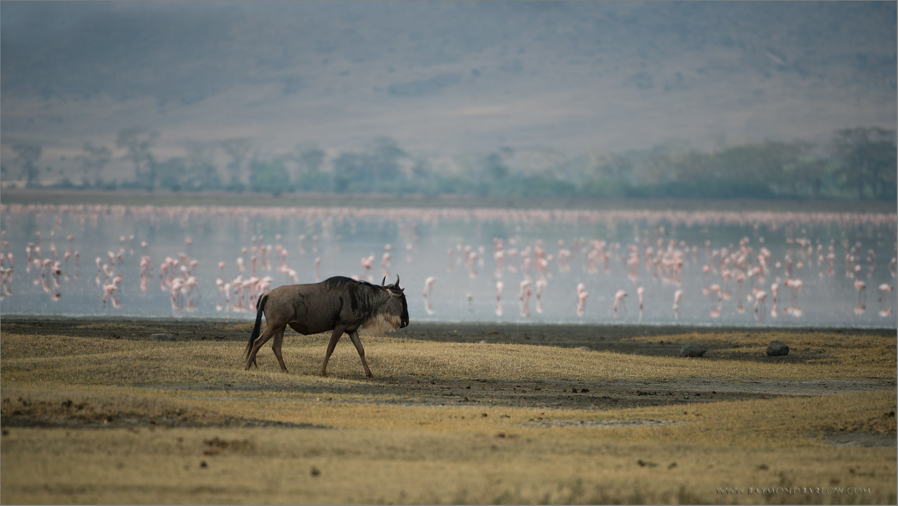 "Wildebeest and Flamingos  (re-edit)<br /> RJB Tanzania, Africa Tours<br /> Nikon D800 ,Nikkor 200-400mm f/4G ED-IF AF-S VR<br /> 1/4000s f/4.0 at 400.0mm iso400<br />  <a href=""http://www.raymondbarlow.com"">http://www.raymondbarlow.com</a>"