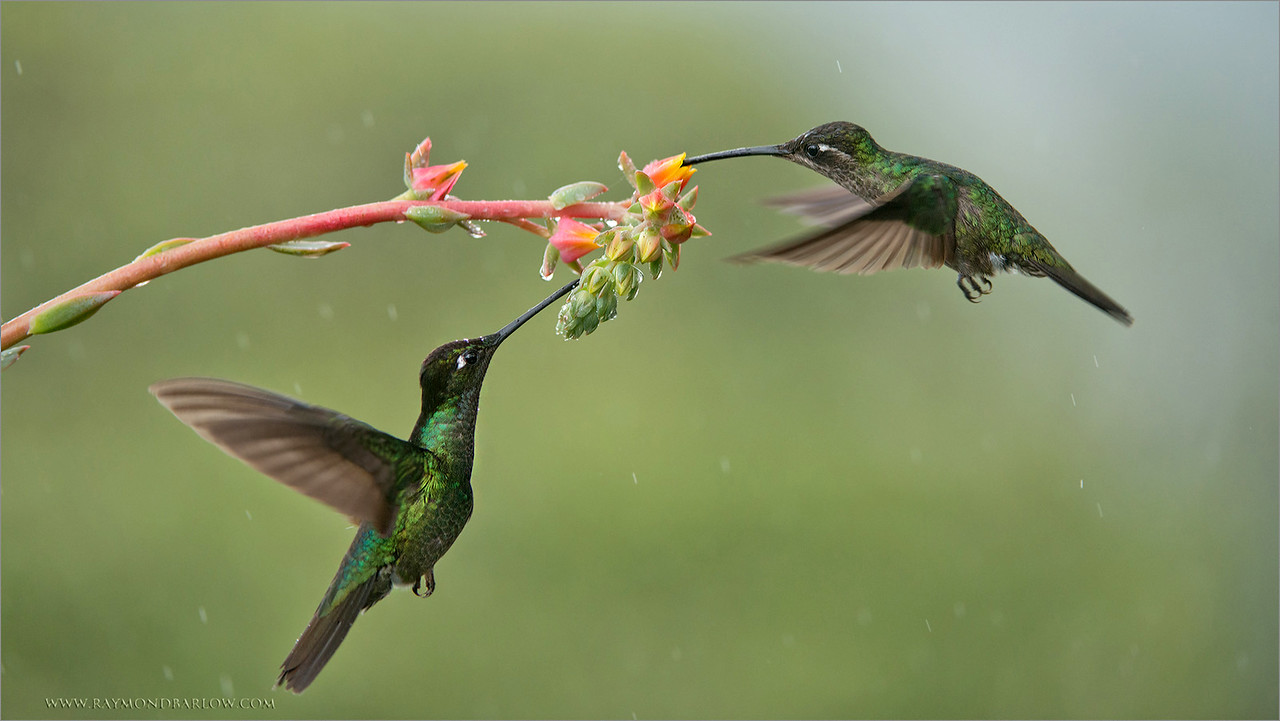 Hummingbirds Love the Rain!<br /> <br /> This pair of Magnificent hummingbirds enjoyed a meal during a rain shower!<br /> <br /> Fortunately, for us photographers, our locations have cover to keep us and our gear dry!  For the birds, this is bath time. Working with natural light always seems to be the best possible choice, even on a dark rainy afternoon.<br /> <br /> Thanks for viewing and sharing my images here in G+, very much appreciated!<br /> <br /> <br /> Magnificent Hummingbirds in Flight<br /> RJB Colours of Costa Rica Tour<br /> ray@raymondbarlow.com<br /> 1/800s f/4.0 at 210.0mm iso1250