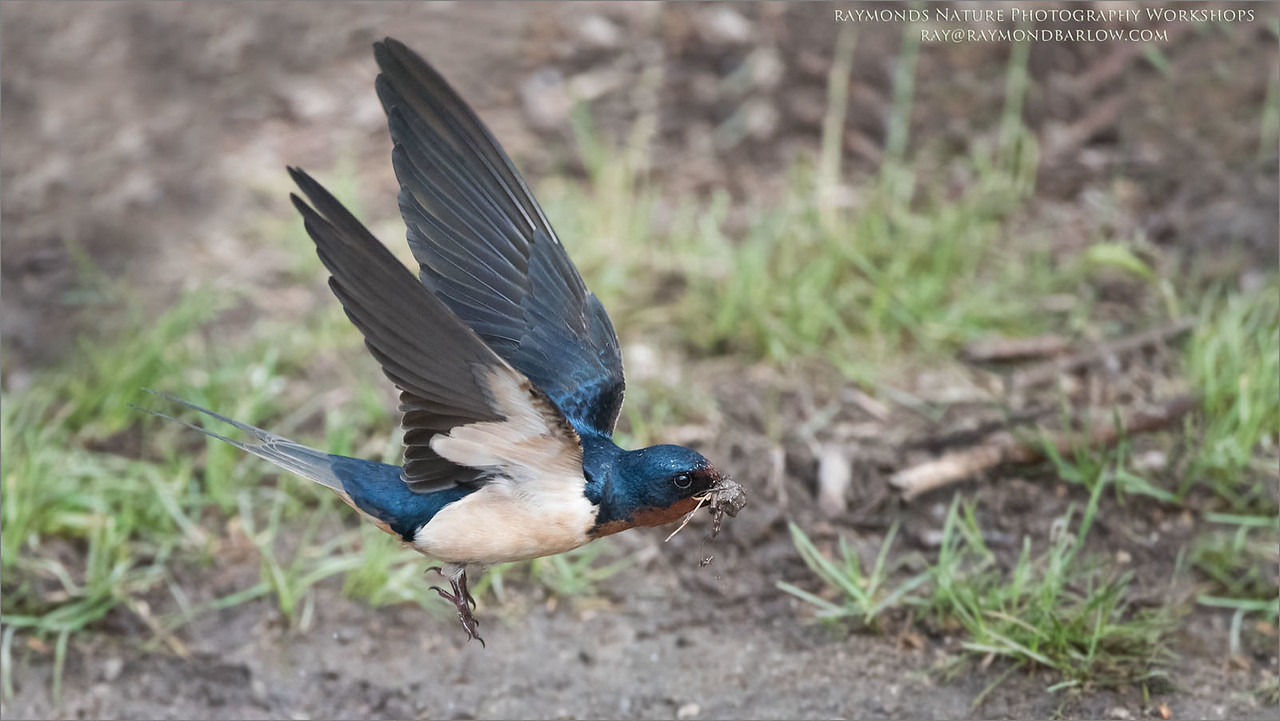 Barn Swallow in Flight<br /> ray@raymondbarlow.com