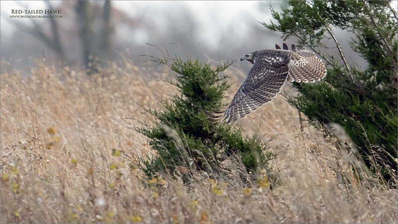 Loving the A7r4, amazing focus and superb files.<br /> <br /> This red-tailed was actively hunting for voles, moving from perch to perch.  Sweet soft light gave us the opportunity to shoot from any direction.  I was able to catch several shots during this flight, but I like the evergreen trees in the background of this particular image.<br /> <br /> Obviously a very young bird, learning survival, and what a blast to be out there in the fresh air enjoying true nature at its best!<br /> <br /> 200-600mm lens.<br /> Jobu Support gear.