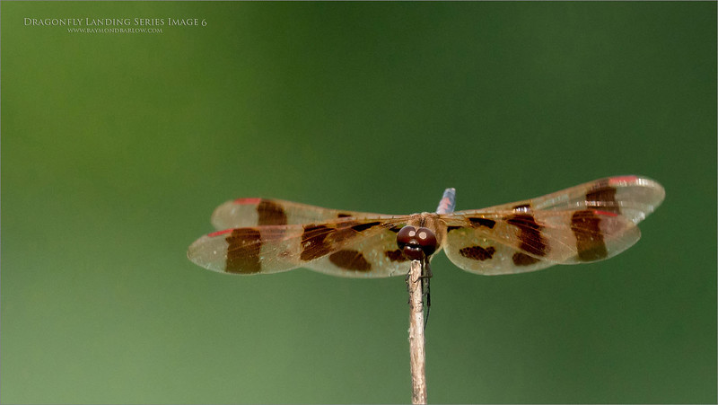 A 6  image series of a Landing dragonfly.  - Image 6