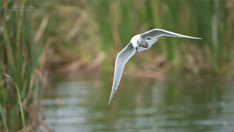 """About 4 Terns were fishing in one corner of a pond, so I set up the camera and Jobu support gear to fire a few images.. (about 800!). I love watching the skill of these amazing and energetic birds diving for tiny minnows.<br /> <br /> A spectacular scene.<br /> <br /> Thanks for looking!<br /> <br /> Forster""""s tern with Lunch<br /> Orlando, Florida<br /> <br /> ray@raymondbarlow.com<br /> Nikon D850 ,Nikkor 200-400mm f/4G ED-IF AF-S VR<br /> 1/4000s f/4.0 at 400.0mm iso1600"""