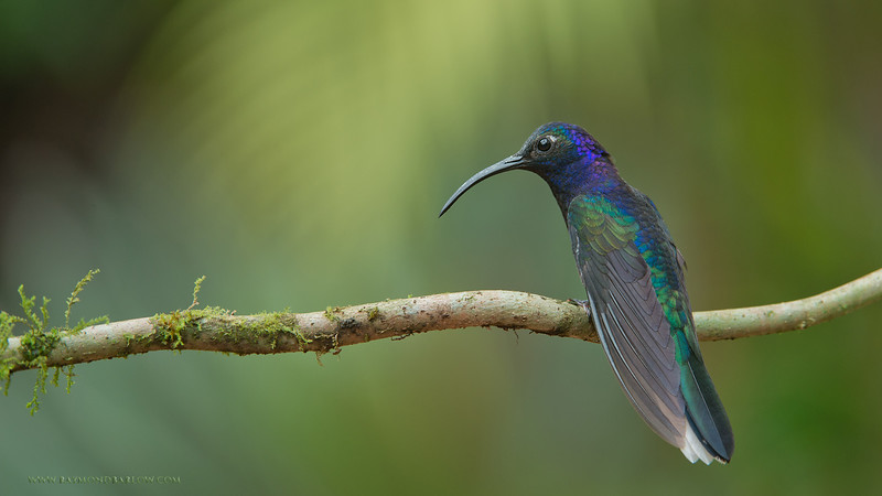RJB_0757 Violet Sabrewing 1600 share