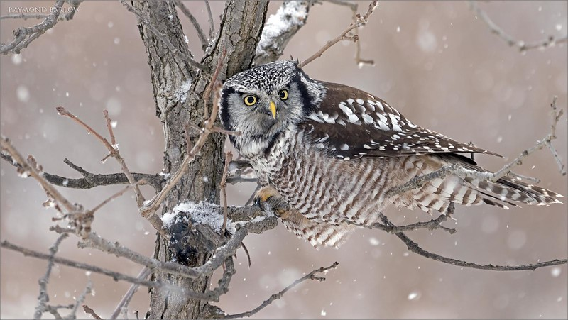 "In this 2 image set, the hawk owl struggles with it's cache, as the wet snow previously has frozen the food to the trunk of the tree.  it moved on to another meal in a small pine tree, but we were too far to see how successful this owl was with its second choice.<br /> <br /> Northern Hawk Owl with Lunch 2<br /> Ontario, Canada<br /> <br />  <a href=""http://www.raymondbarlow.com"">http://www.raymondbarlow.com</a><br /> Sony Alpha α7R IV ,Sony 100-400GM<br /> 1/320s f/5.6 at 400.0mm iso640"