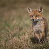Fox Kit Posing - thanks to all of my guests, and natures beauty!<br /> <br /> Raymond's Ontario Nature Photography Tours<br /> Nikon D810 ,Nikkor 200-400mm f/4G ED-IF AF-S VR<br /> 1/8000s f/4.0 at 400.0mm iso1000