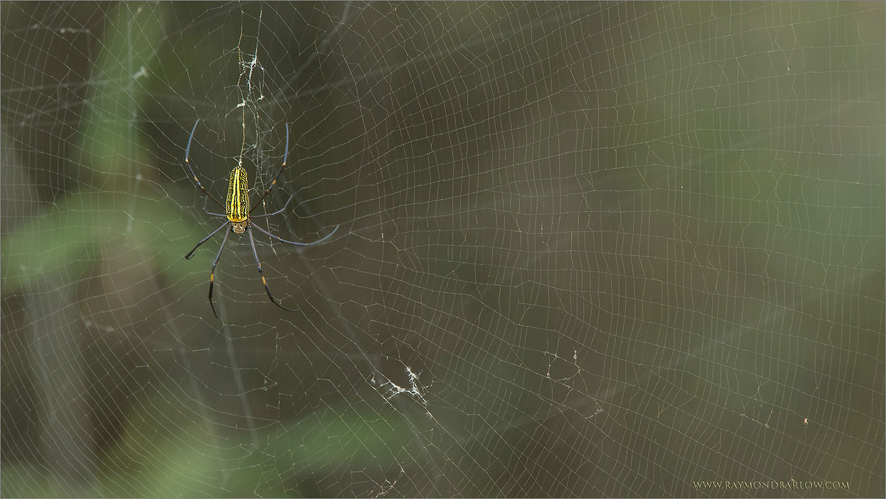 "Giant Wood Spider<br /> RJB India Tours<br /> <br />  <a href=""http://www.raymondbarlow.com"">http://www.raymondbarlow.com</a><br /> 1/80s f/8.0 at 400.0mm iso3200"