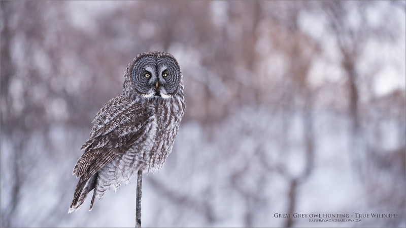 Great grey owl Perched<br /> Raymond's Ontario Nature Photography Tours<br /> <br /> ray2raymondbarlow.com<br /> Nikon D810 ,Nikkor 200-400mm f/4G ED-IF AF-S VR<br /> 1/2000s f/4.0 at 200.0mm iso800