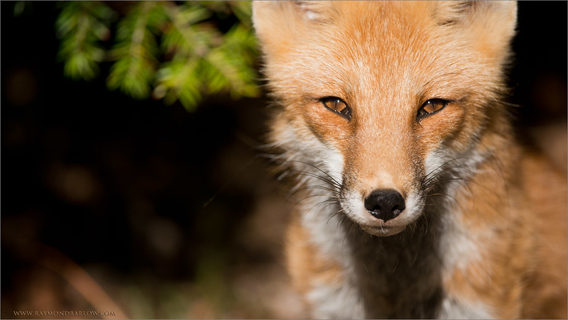 Please save Nature?<br /> <br /> Let's give this Red Fox a healthy and clean place to live.<br /> <br /> raymond<br /> ray@raymondbarlow.com