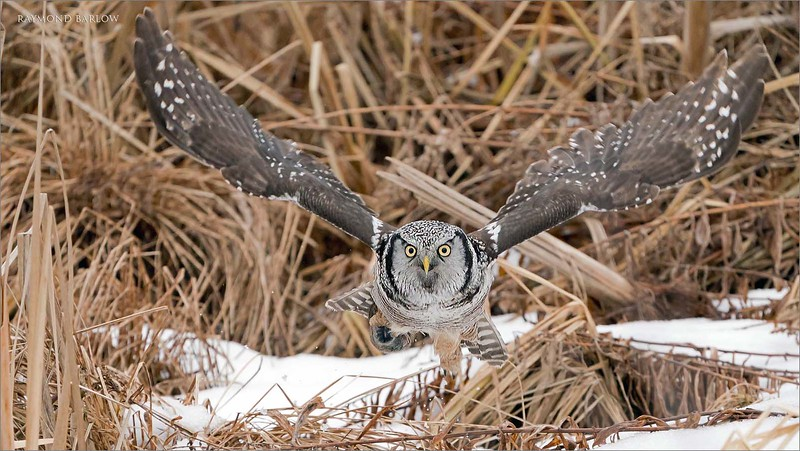 "In a fast attempt to get out of the marsh, and save the owls catch, he lifts off and power down-strokes to get elevated quickly.  with relatively short stocky wings this takes a lot of power and wing speed.  <br /> <br /> He was up and away in a big hurry!<br /> <br /> Northern Hawk Owl Downstroke<br /> Ontario, Canada<br /> <br />  <a href=""http://www.raymondbarlow.com"">http://www.raymondbarlow.com</a><br /> Sony Alpha α9 ,Sony 100-400GM<br /> 1/3200s f/5.6 at 400.0mm iso2000"