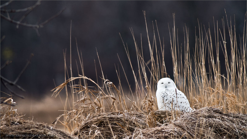 """Snowy Owl<br /> Ontario Canada<br /> <br /> We were overwhelmed with Snowys Yesterday, we counted 18!<br /> Still, difficult shoot, and good fun with my friend +Robert Zakrison .. hope we get a bunch of snow soon for a return trip.<br /> <br /> Snowy Owl on the Farm<br /> Raymond's Ontario Nature Tours<br /> <br />  <a href=""""http://www.raymondbarlow.com"""">http://www.raymondbarlow.com</a><br /> ray@raymondbarlow.com<br /> Nikon D810 ,Swarovski Spotting Scope 95 mm<br /> 1/200s f/9.5 iso320"""