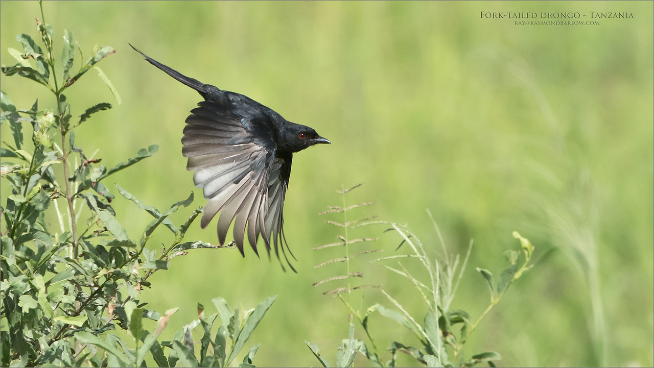 Fork-tailed drongo in Flight<br /> Raymond Barlow Photo Tours to Tanzania Wildlife and Nature<br /> <br /> ray@raymondbarlow.com<br /> Nikon D850 ,Nikkor 200-400mm f/4G ED-IF AF-S VR<br /> 1/2500s f/6.3 at 400.0mm iso1000