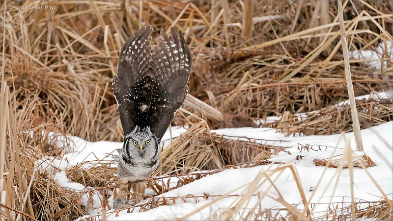"Lift off pose!   After moving the vole from his beak to his talons, he started his flight to a secure eating perch!  Though I do think he stored the catch in a tree.<br /> <br /> Real nature, no bait.<br /> <br /> Northern Hawk Owl- heads up!<br /> Ontario, Canada<br /> <br />  <a href=""http://www.raymondbarlow.com"">http://www.raymondbarlow.com</a><br /> Sony Alpha α9 ,Sony 100-400GM<br /> 1/3200s f/5.6 at 400.0mm iso2000"