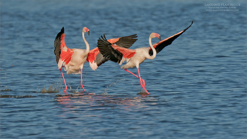 "Pink legs in for a Landing!<br /> <br /> Lesser flamingos are popular in Ndutu, and we saw so many!  Also, we were lucky with the ""greater"" of the species.<br /> <br /> Parking the safari truck on the beach and watching these bird fly in one after another, groups of 2-4-7 and more, what a cool deal.<br /> <br /> Pretty good deal with brilliant plumage, and a tough exposure, also wishing for less wind.  That would have been sweet!<br /> <br /> Next time!<br /> <br /> I have a specially designed tour to capture ""Big Cat Hunting"" - if your interested, please let me know!<br /> <br /> ray@raymondbarlow.com"