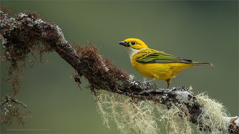 """Yellow and Green<br /> <br /> Colour is a big deal in nature photography, we all look for the drama!<br /> <br /> This silver-throated tanager takes this concept to the max.  these colours just seem to be the """"natural"""" match.  One of the smallest tanagers I have seen in Costa Rica, but also a very friendly and approachable bird.  We keep a good distance for most of the birds at this location, then move in for a shot during last light.<br /> <br /> Lots more editing to do as I have a back-log of workshop images to review and edit, hard to keep up!<br /> <br /> Thanks for looking!<br /> <br /> <br /> Silver-throated Tanager<br /> RJB Costa Rica Tours<br /> <br /> ray@raymondbarlow.com<br /> Nikon D800 ,Nikkor 200-400mm f/4G ED-IF AF-S VR<br /> 1/125s f/4.0 at 400.0mm iso1000"""