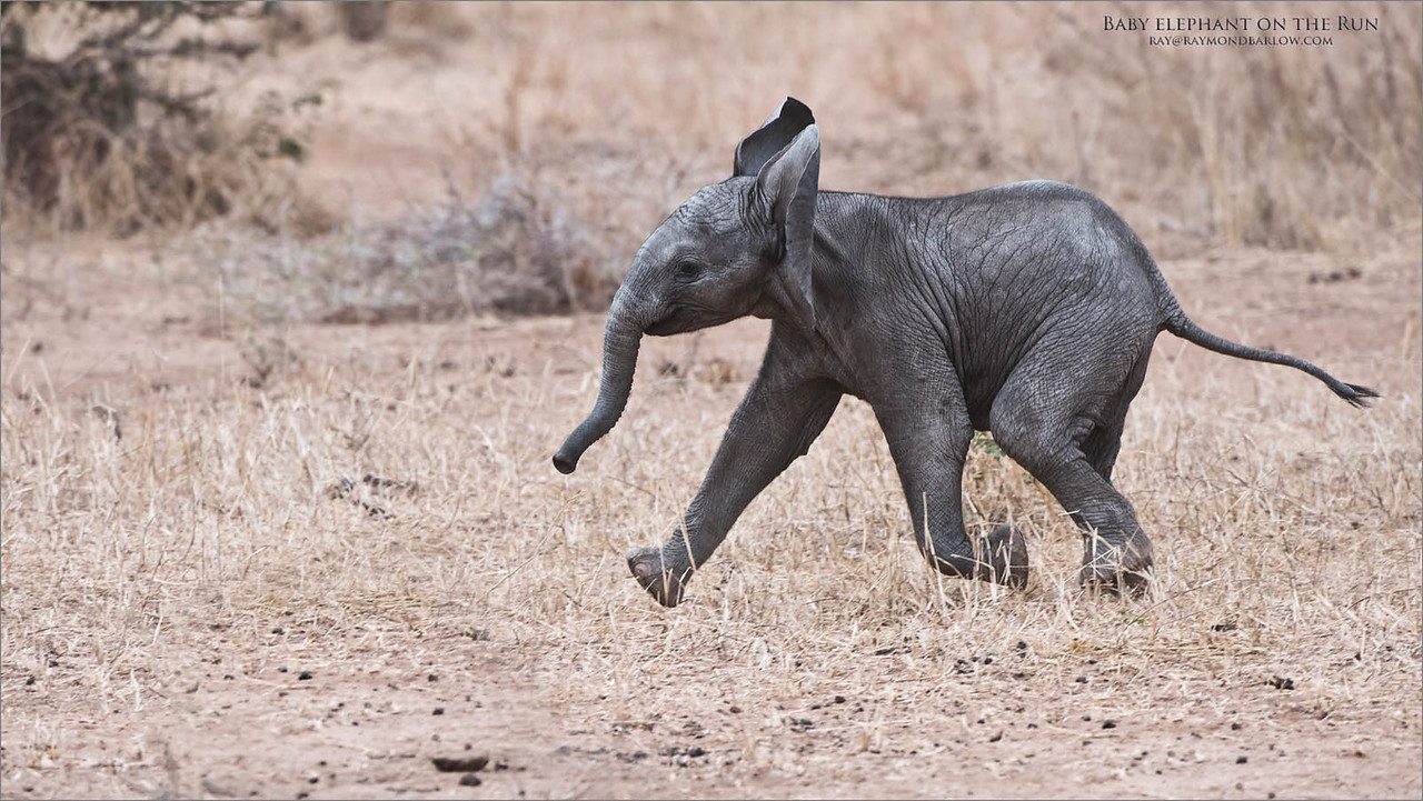 Baby elephant on the Run<br /> Raymond Barlow Photo Tours to Tanzania Wildlife and Nature<br /> <br /> ray@raymondbarlow.com<br /> Nikon D810 ,Nikkor 200-400mm f/4G ED-IF AF-S VR<br /> 1/640s f/5.6 at 400.0mm iso400