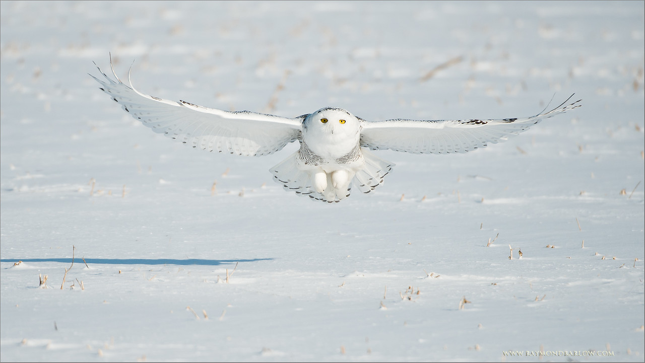 Snowy Owl in Flight<br /> ray@raymondbarlow.com<br /> Nikon D800 ,Nikkor 200-400mm f/4G ED-IF AF-S VR<br /> 1/5000s f/4.0 at 400.0mm iso250<br /> No Bait used