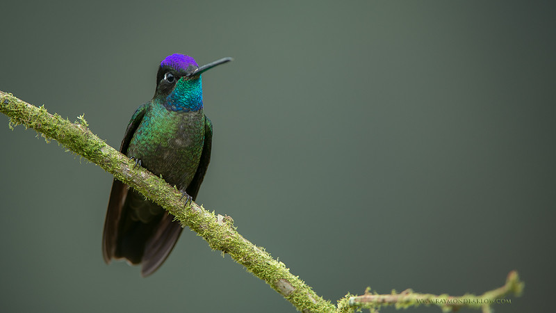 RJB_1986 Blue-throated 1600 share