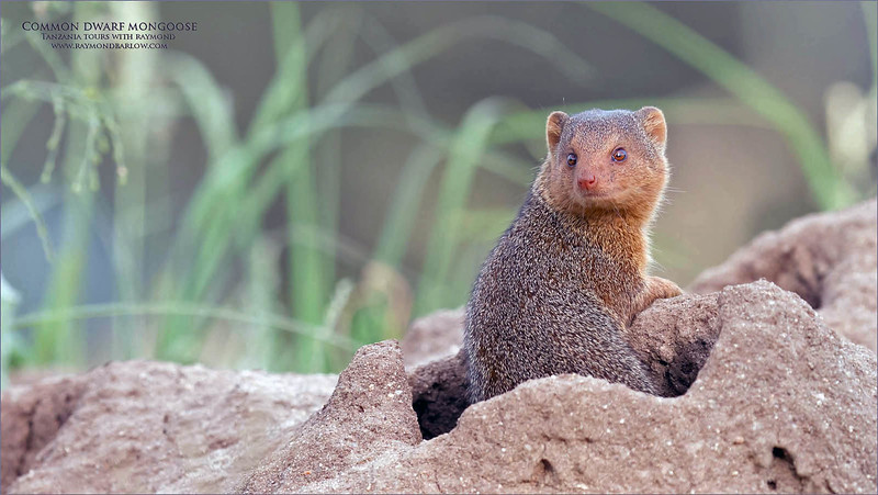 Much like our prairie dogs here in Western Canada, the Common dwarf mongoose lives in burrows, or termite mounds with fellow family members.<br /> <br /> This pack had 3 members that were curious enough to come out a have a look at us, while our cameras clicked away.  I would guess we waited about 5 minutes before they popped up, so here is where a bit of patience comes in handy.  So many photographers are not willing to sit and wait for the opportunity, so they really miss out!<br /> <br /> There are some trips where we completely miss such a chance, so this location was a blast, and one of our golden opportunities.<br /> <br /> Love Real African Nature.