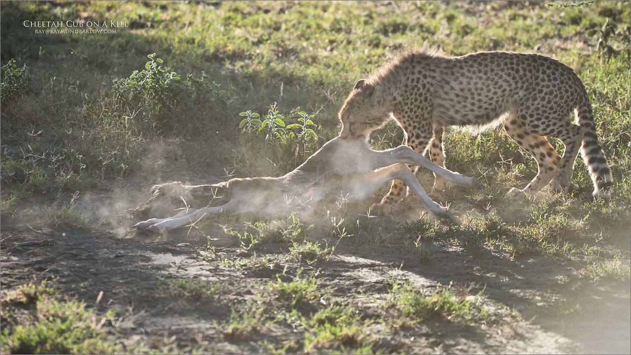 This is an eight image story with a cheetah family hunting for a kill! 2 of 8<br /> <br /> The Cheetah had the young wildebeests by the throat and was strangling and very quickly decided to drag it into a safer location near some thicker bush. The first dozen shots were so directed into the sun it was more or less a waste of time. Fortunately, when the Cub dragged the kill to our right, the sun angle was not so effective and we had a great, point blank view of the kill.