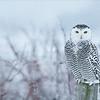 Snowy Owl<br /> RJB Wild Birds of Ontario Workshops<br /> <br /> ray@raymondbarlow.com<br /> <br /> No Bait used<br /> Nikon D800 ,Nikkor 200-400mm f/4G ED-IF AF-S VR<br /> 1/640s f/4.0 at 350.0mm iso2000