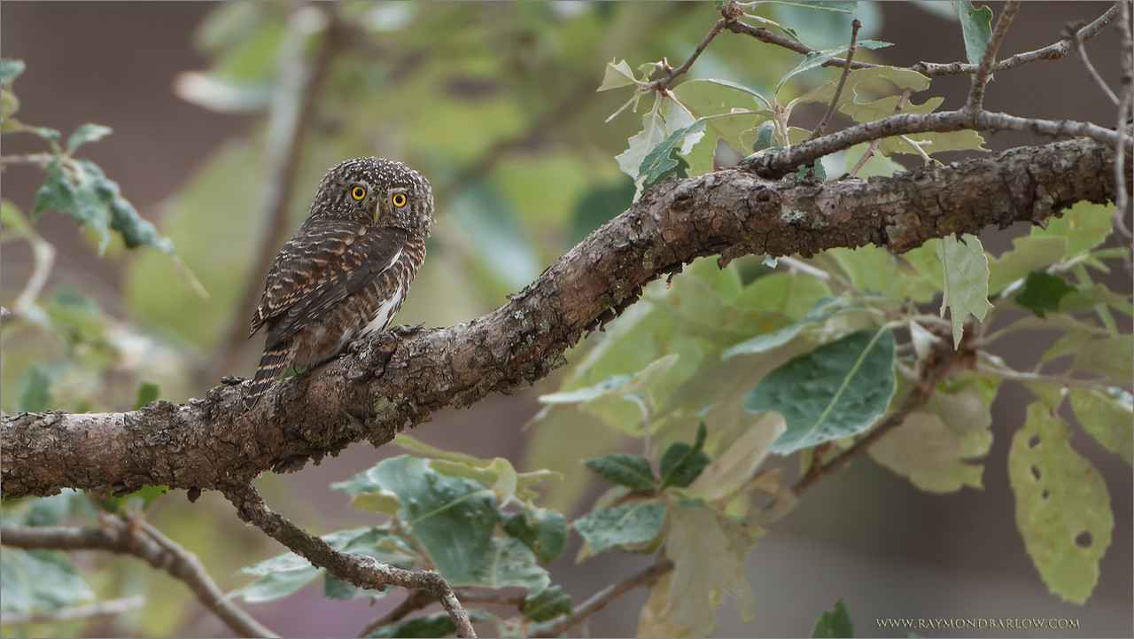 "A gift from India!<br /> <br /> More then 3 years ago, I spent 3 weeks in India, hosting seminars, and leading photographers to some nice birding locations north of New Delhi.  During one of our hikes, a guide spotted this beautiful, and very tiny owl.  It is know for it's feather pattern on the back of it's head, that resembles a pair of eyes.  this helps elude predators.<br /> <br /> I very much enjoyed Pangot and Sat Tal.<br /> <br /> I hope to return to India soon, as I have a tour for the Bengal Tiger arranged for November 2014 .. still 2 spots left, I hope you will join me!<br /> <br /> Info here, please click:<br /> <br /> <a href=""http://raymondbarlowworkshops.blogspot.ca/2014/06/raymond-barlows-bengal-tiger-tour.html"">http://raymondbarlowworkshops.blogspot.ca/2014/06/raymond-barlows-bengal-tiger-tour.html</a><br /> <br /> ray@raymondbarlow.com<br /> <br /> <br /> Collared Owlet - India<br /> RJB India Tour May 2012<br /> please email me - ray@raymondbarlow.com<br /> 1/100s f/4.0 at 400.0mm iso250"