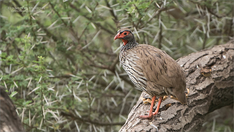 Red-necked spurfowl<br /> Raymond Barlow Photo Tours to Tanzania Wildlife and Nature<br /> <br /> ray@raymondbarlow.com<br /> Nikon D850 ,Nikkor 200-400mm f/4G ED-IF AF-S VR<br /> 1/250s f/4.0 at 400.0mm iso400
