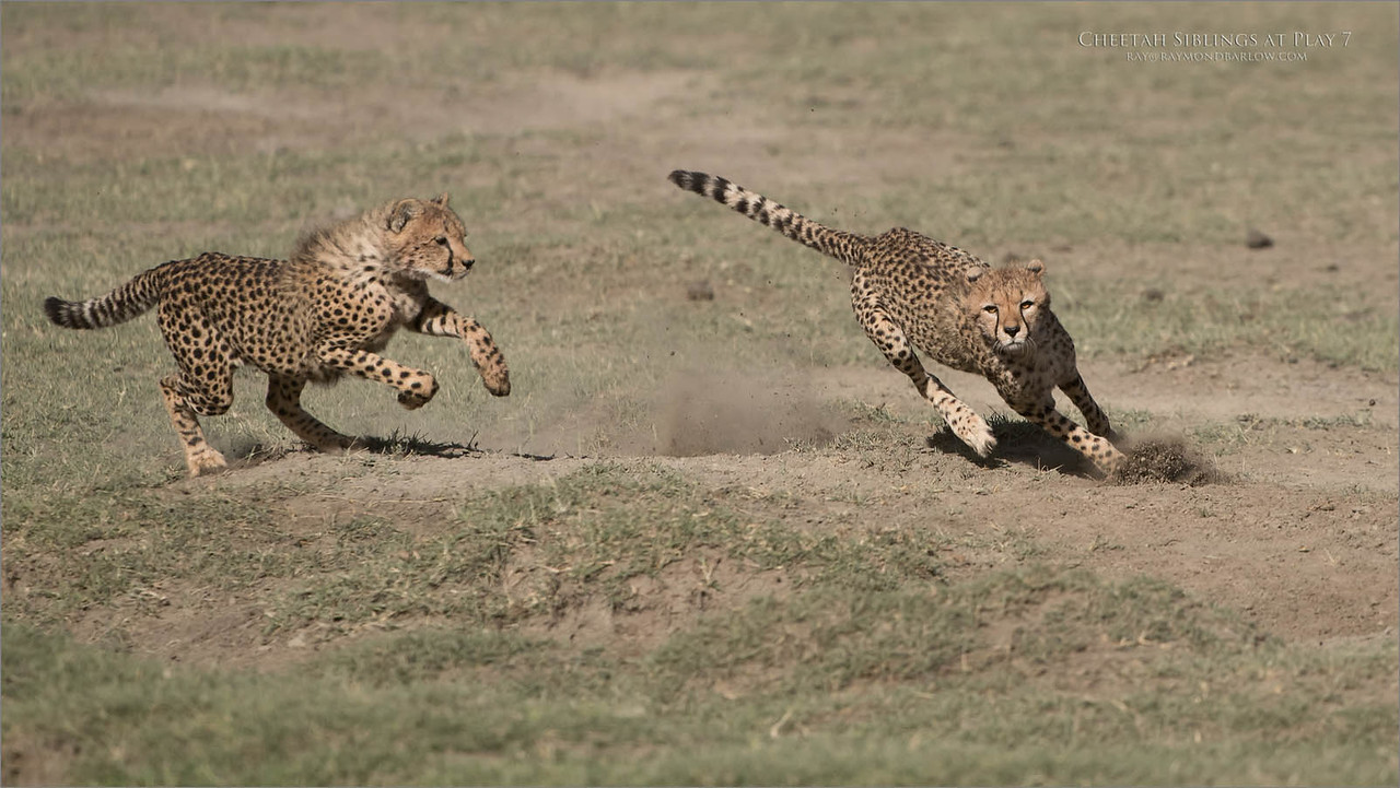 Cheetahs at Play Series 12 Shots  - Image 7 of 12