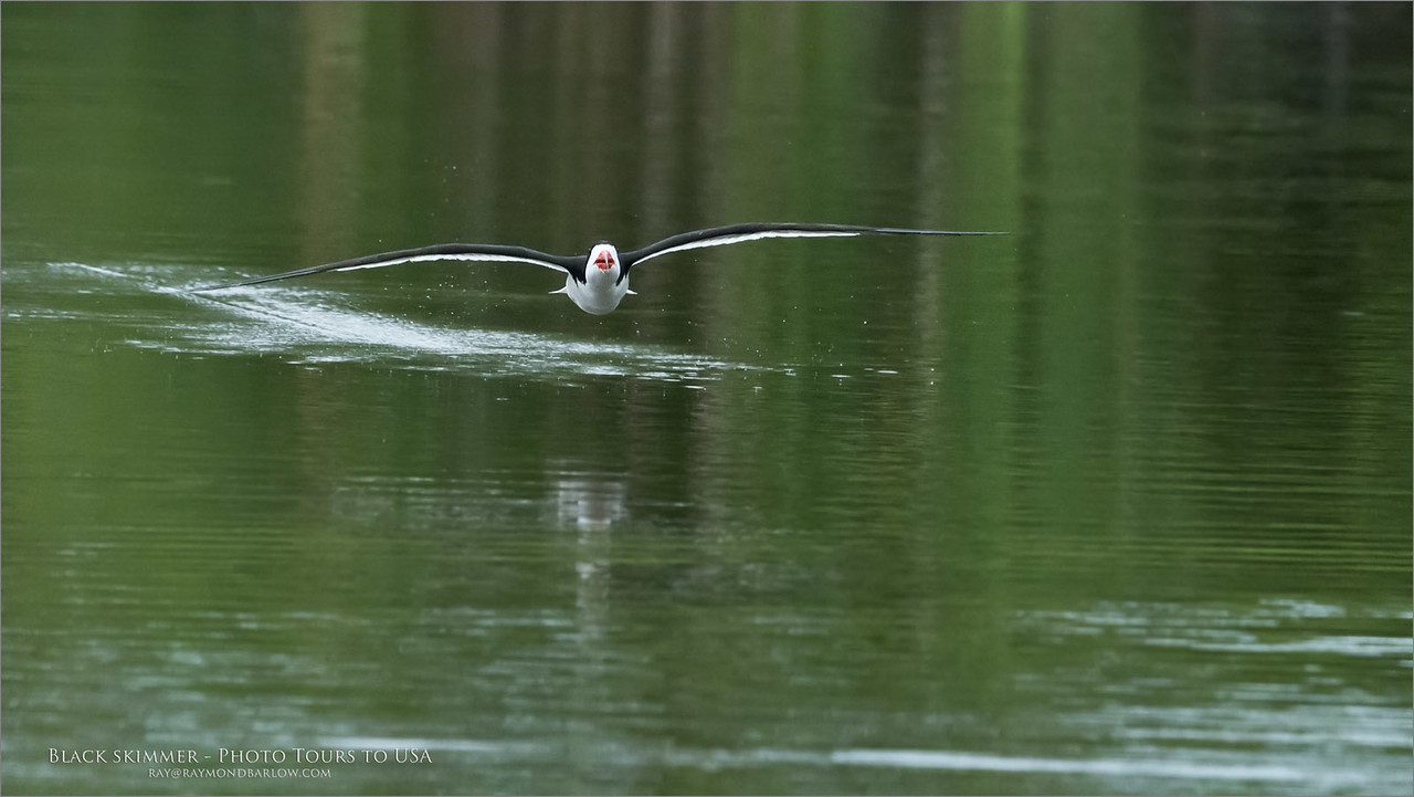 Thirsty Skimmer<br /> <br /> Nikon D810 ,Nikkor 600 mm f/4 ED<br /> 1/2500s f/8.0 at 600.0mm iso2500