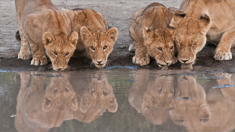 _DSC7509 Lion Family on the Waters Edge 1600 3 share
