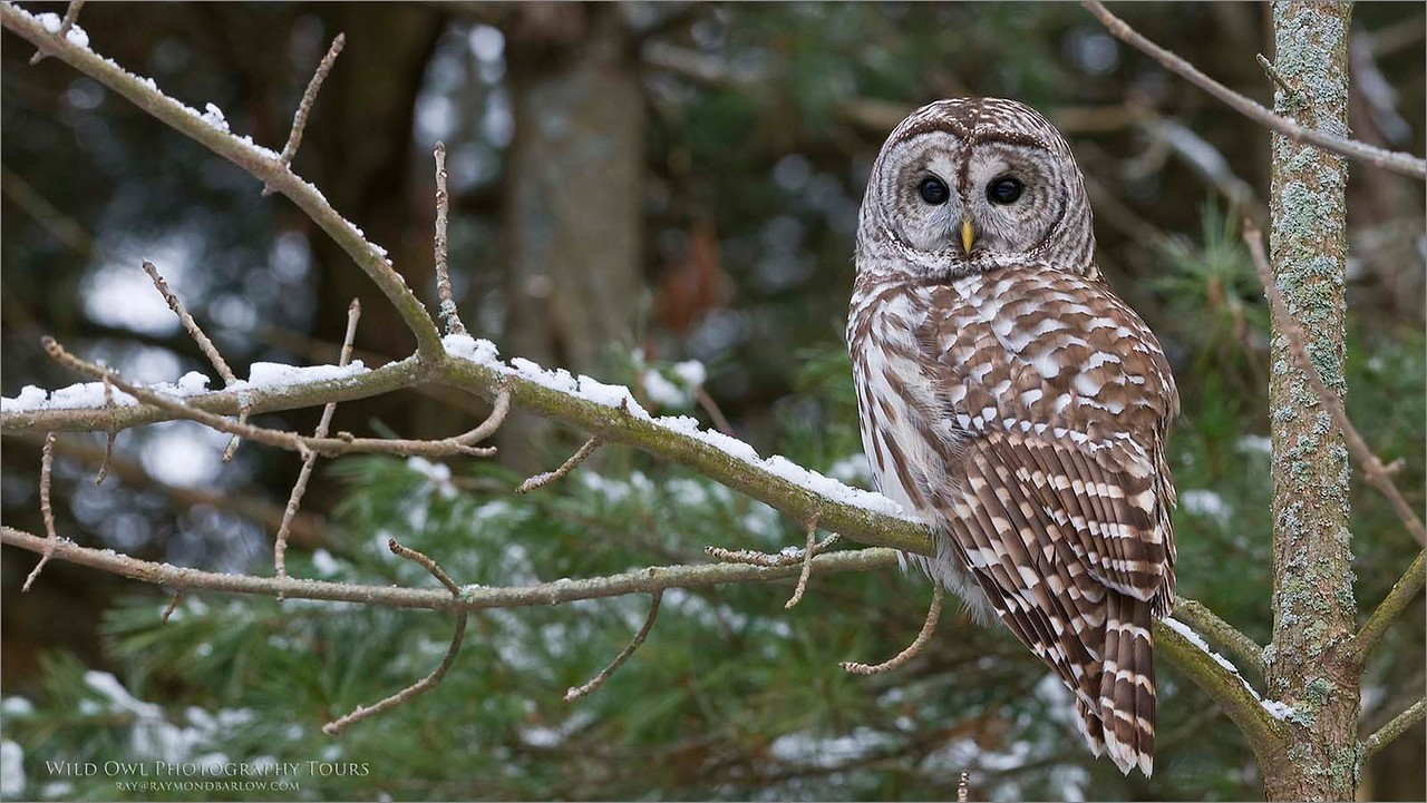 Barred Owl - Ontario, Canada