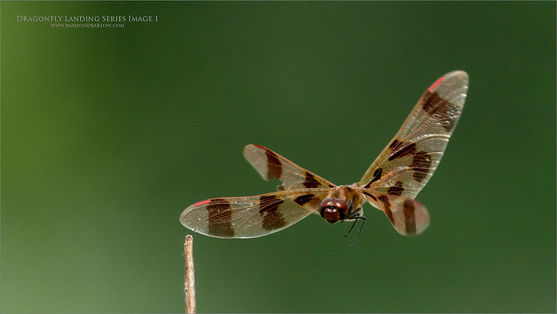 A 6  image series of a Landing dragonfly.  - Image 1