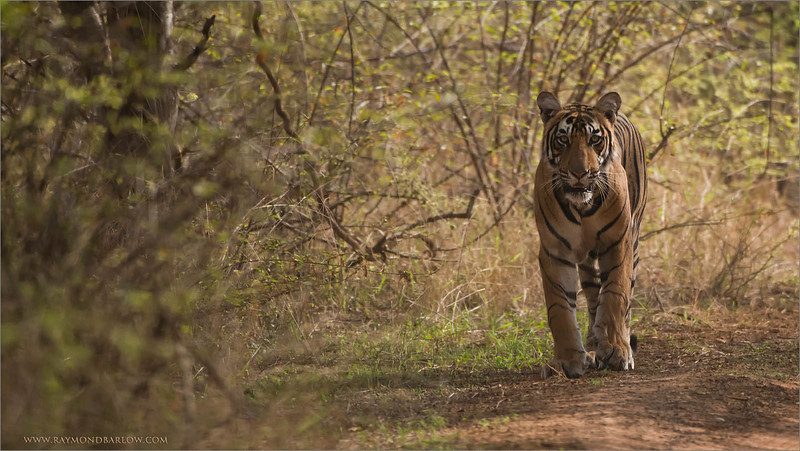 Royal Bengal Tiger Hunting<br /> RJB India Photo Tours<br /> <br /> A new Tiger tour coming soon, before Christmas... would you like to go?<br /> Baby cubs are waiting for us!!<br /> raymond<br /> <br /> ray@raymondbarlow.com<br /> 1/8000s f/4.0 at 400.0mm iso2500
