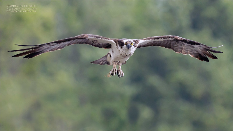 This image was taken during a workshop in Eastern Ontario, last summer - 2020.  Thanks to all of my guests!<br /> <br /> An adult osprey returning to the nest to check up on the young,   We are standing on a nearby ridge which is at eye level with the nest.  Such a superb opportunity! <br /> <br /> The adults bring in fish about once every 1.5 hours, so we have some good opportunities to capture natural behavior photography.<br /> <br /> This image represents about 20% of the full frame, taken at ISO 1600 - so not bad for such a huge crop.  More workshops out here this coming summer, real nature, and wild raptors!<br /> <br /> Love Nature!