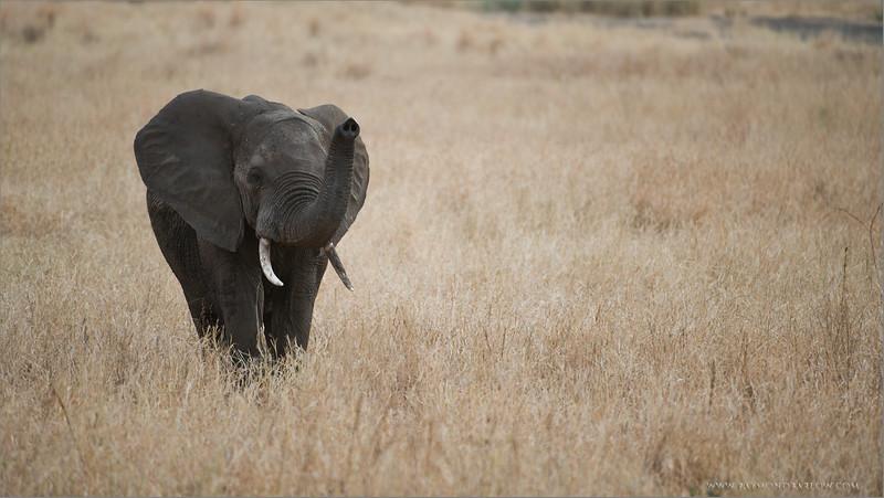 Elephant in the Serengeti<br /> RJB Tanzania, Africa Tours<br /> <br /> ray@raymondbarlow.com<br /> Nikon D800 ,Nikkor 200-400mm f/4G ED-IF AF-S VR<br /> 1/400s f/4.0 at 400.0mm iso400