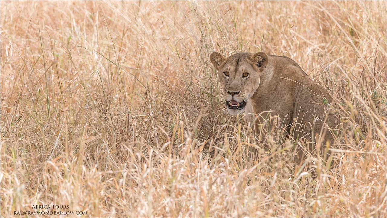 Lion in the Grass<br /> Raymond Barlow Photo Tours to Tanzania Wildlife and Nature<br /> <br /> ray@raymondbarlow.com<br /> Nikon D810 ,Nikkor 200-400mm f/4G ED-IF AF-S VR<br /> 1/1000s f/6.3 at 210.0mm iso800