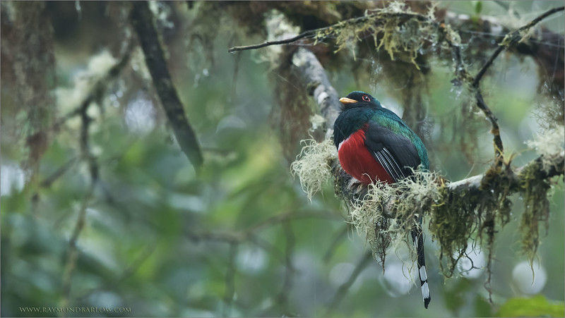 Masked Trogon<br /> Raymond's Ecuador Photography Tours<br /> <br /> Join my next tour?<br /> <br /> <br /> ray@raymondbarlow.com<br /> Nikon D810 ,Nikkor 200-400mm f/4G ED-IF AF-S VR<br /> 1/100s f/6.3 at 400.0mm iso2000