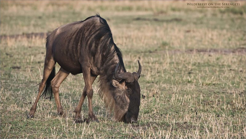 Wildebeest Grazing<br /> Raymond Barlow Photo Tours to Tanzania Wildlife and Nature<br /> <br /> ray@raymondbarlow.com<br /> Nikon D810 ,Nikkor 200-400mm f/4G ED-IF AF-S VR<br /> 1/640s f/6.3 at 340.0mm iso2500