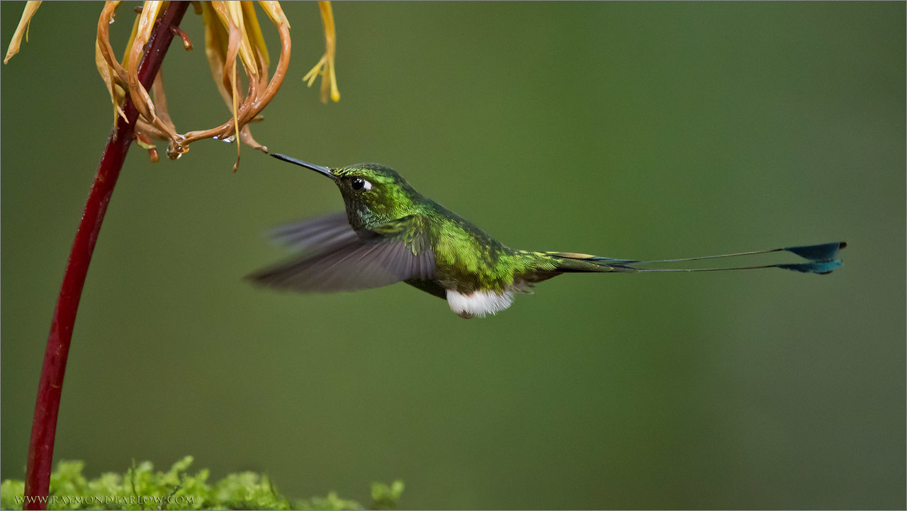 Booted Racket-tail<br /> Raymond's Ecuador Tours<br /> <br /> ray@raymondbarlow.com<br /> Nikon D810 ,Nikkor 200-400mm f/4G ED-IF AF-S VR<br /> 1/1000s f/4.0 at 400.0mm iso2500