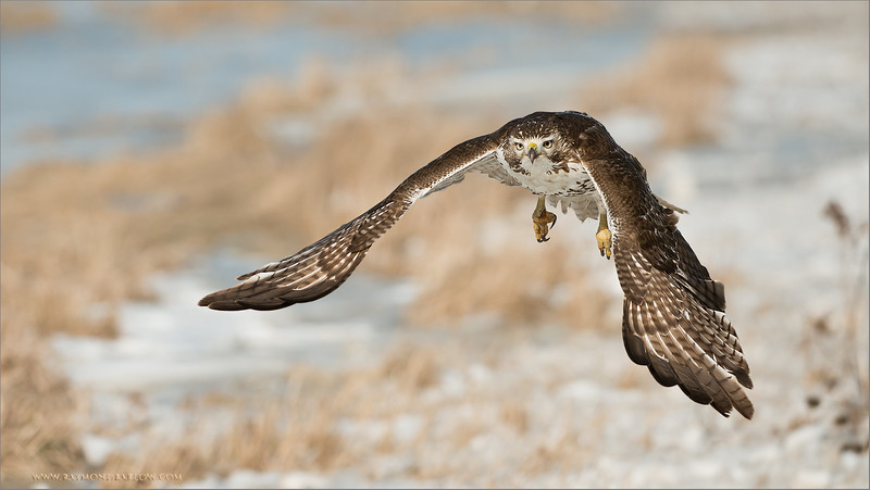 Red-tailed Hawk Hunting<br /> RJB Wild Birds of Ontario Workshops<br /> ray@raymondbarlow.com<br /> No Bait used or needed<br /> Nikon D800 ,Nikkor 200-400mm f/4G ED-IF AF-S VR<br /> 1/6400s f/4.0 at 290.0mm iso400