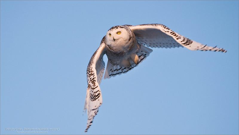 Snowy Owl in Ontario - All wild, - No Bait