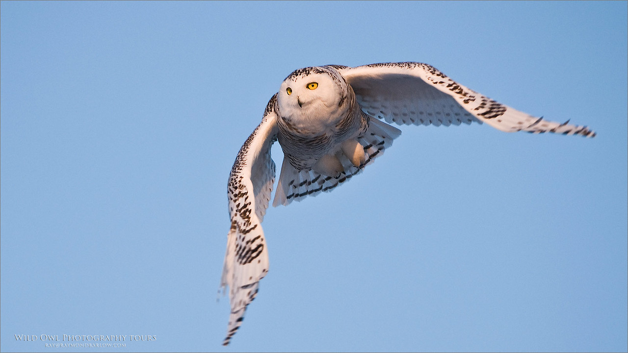 Snowy Owl in Ontario - All wild, - No Bait