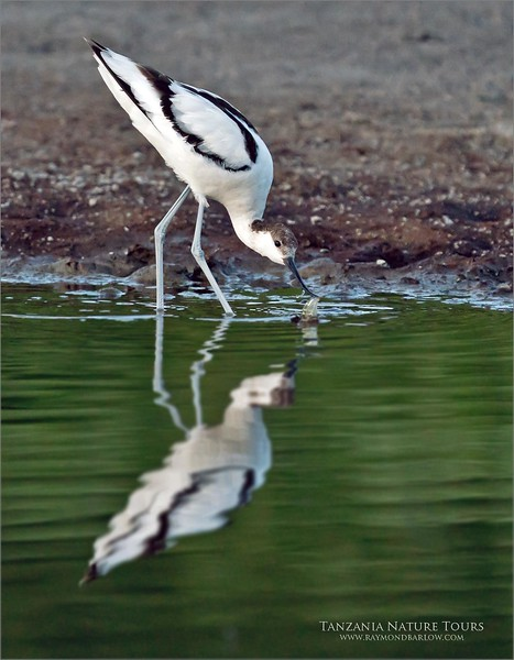 It was almost dark!<br /> <br /> So we use lots of iso for speed, and fired a bunch of shots in the dark of this pied avocet.  Watching this bird feeding in the shallow waters of the dried up river was good fun, even if the image did not turn out so well.<br /> <br /> At 3200 iso, I was able to catch a few images as this one seemed worth a try in photoshop.<br /> <br /> So, my editing is almost at the end of day 5, still a long way to go before this project is complete!<br /> <br /> Thanks so much for looking!
