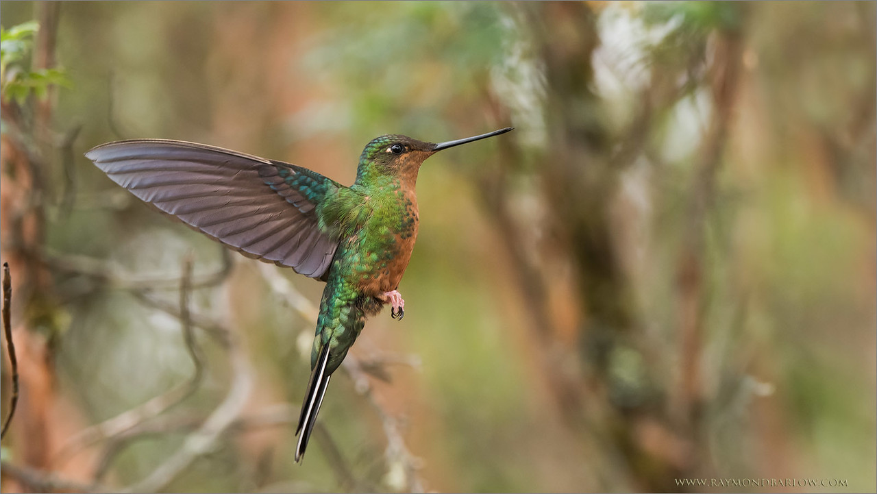 Great Saphirewing<br /> Raymond's Ecuador Photography Tours<br /> <br /> ray@raymondbarlow.com<br /> Nikon D810 ,Nikkor 200-400mm f/4G ED-IF AF-S VR<br /> 1/1250s f/4.5 at 300.0mm iso2000