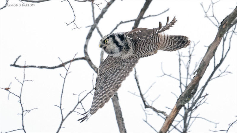 "Another interesting day with the Hawk Owl, unfortunately we didn't get a good angle for a background today, so blah white sky behind the bird.<br /> <br /> next time!<br /> <br /> Northern Hawk Owl in flight!<br /> Ontario, Canada<br /> <br />  <a href=""http://www.raymondbarlow.com"">http://www.raymondbarlow.com</a><br /> Sony Alpha A9,Sony 100-400GM<br /> 1/2000s f/5.6 at 400.0mm iso6400"