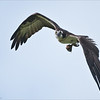 Osprey with a Perch Breakfast<br /> Raymond's Ontario Nature Photography Tours<br /> <br /> ray@raymondbarlow.com<br /> Nikon D810 ,Nikkor 200-400mm f/4G ED-IF AF-S VR<br /> 1/6400s f/4.0 at 400.0mm iso1250