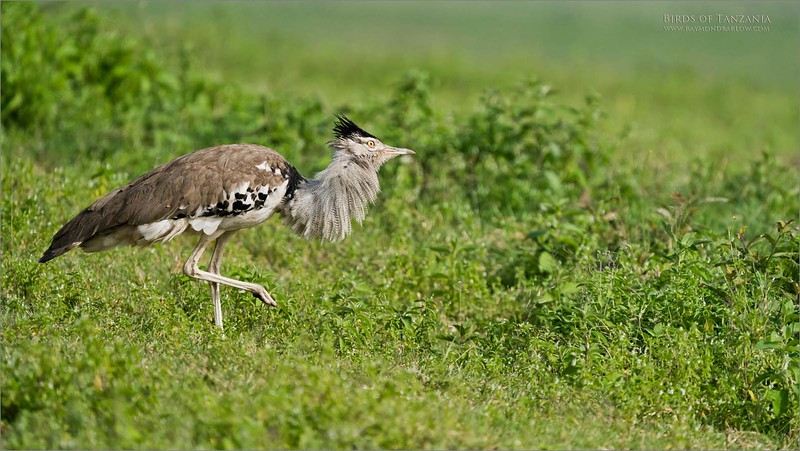 The heaviest flying bird in Africa!<br /> <br /> Kori bustard<br /> <br /> It is always a treat to see this bird in the Ngorongoro Crater.  Fun to see a rare flight, as this bird is massive, with a wingspan of at least 7-8 feet on a full grown male!  He weighs upwards to 40 pounds!<br /> <br /> Wonderful to see them in a mating display, as the forage for bugs, lizards, snakes, etc for food.<br /> <br /> The crater rarely disappoints<br /> <br /> Awesome Beauty of Nature.