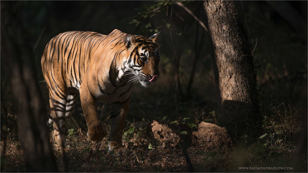 "A Candle in the Darkness -  The Bengal Tiger<br /> <br /> Our 4th safari into the park was a success - We saw 4 tigers!<br /> <br /> This female had 2 cubs, and was on her way to hunt as she passed by our safari truck!  Our guide - Mr. AJ.<br /> <br /> 16 more safaris here in India, but our goal for a shot has been accomplished.  Everything else is just a bonus!<br /> <br /> Special thanks to my friends:<br />  Aun Marwah<br /> Thomas Vijayan<br /> Mohan Vijayan<br /> <br /> Please visit this amazing hotel, as my great friend<br /> Ravindra Jain will be happy to help you!! The superb service<br /> and excellent rooms will help you enjoy your stay!<br /> <br /> <a href=""http://www.ranthambhor.com/"">http://www.ranthambhor.com/</a><br /> Ranthanbore Regency Hotel<br /> <br /> Bengal Tiger at Ranthambore National Park<br /> RJB India Tours<br />  <a href=""http://www.raymondbarlow.com"">http://www.raymondbarlow.com</a><br /> <br /> <a href=""http://www.ranthambhor.com/"">http://www.ranthambhor.com/</a><br /> <br /> Camera Settings:<br /> 1/1600s f/4.0 at 400.0mm iso500"